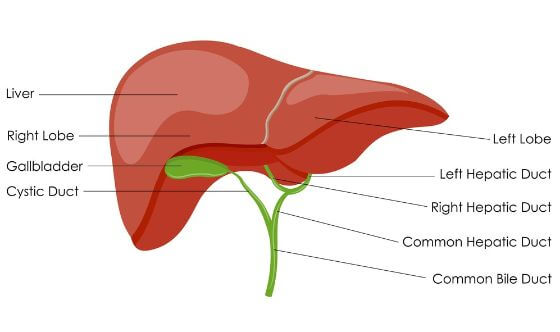 liver anatomy - Liver Disease: Symptoms and Treatment